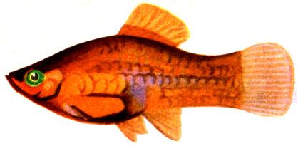 Platypoecilius_red
