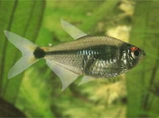 http://www.akvarfish.ru/wp-content/uploads/2009/11/fonarik.jpg