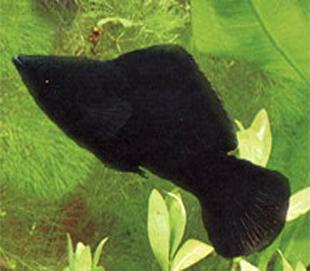 molinezia
