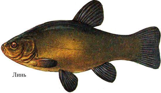 серушка рыба фото